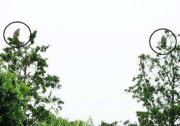 サシバの幼鳥2羽ー南岸台地の林、2019年7月17日.jpg